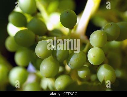 vine, grapes - Stock Image