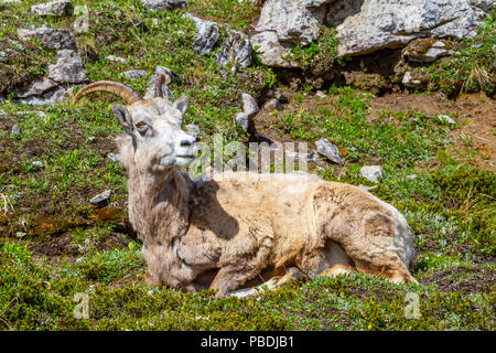 A mountain goat on the summit of Parker Ridge in Jasper National Park in the Canadian Rockies. - Stock Image