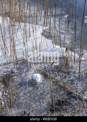 Reed with ice on Kochelsee in Winter, Bavaria Germany - Stock Image