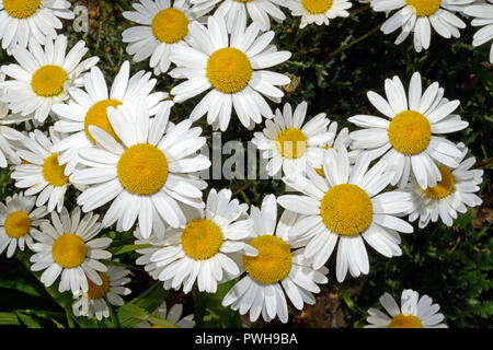 Leucanthemum vulgare (ox-eye daisy) is a grassland species native to Europe but introduced to other parts of the world where it is often invasve. - Stock Image