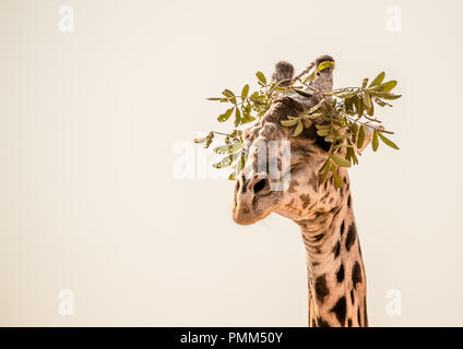 A Thornicroft's Giraffe with a crown of leaves, South Luangwa, Zambia - Stock Image