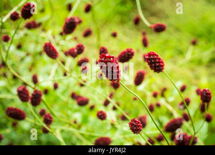 Close up of red flowers of the Sanguisorba officinalis 'Red Thunder' burnet plant planted in a garden in summer - Stock Image