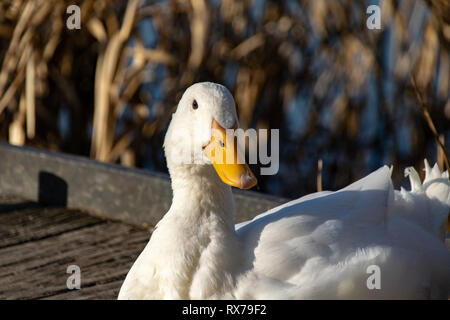 Portrait of a white heavy ducks - American Pekin also known as the Aylesbury or Long Island duck - Stock Image