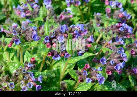Pulmonaria officinallis  common lungwort flowers - Stock Image