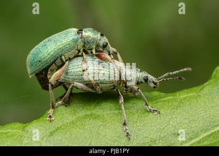 Green Weevils (Phyllobius sp.) mating on dock leaf. Tipperary, Ireland - Stock Image