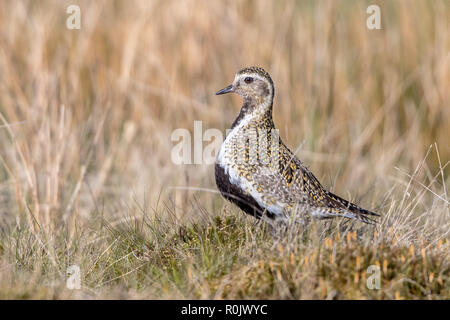 European Golden Plover (Pluvialis apricaria) standing in grass moorland, Northumberland, England - Stock Image