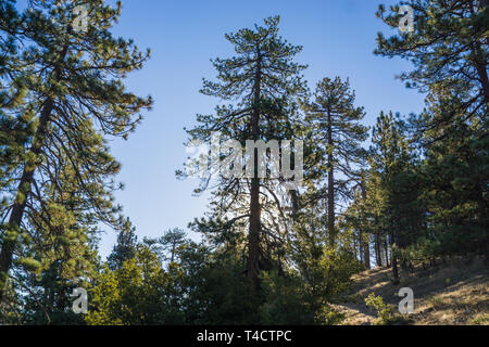 Morning sunlight filters through pine trees on an early morning in California - Stock Image