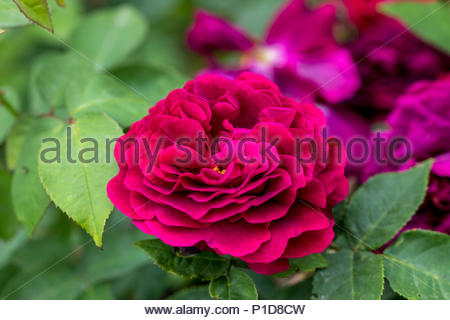 Hybridised by Guillot in 1869, the fragrant double rose 'Comtesse d'Oxford' - Stock Image