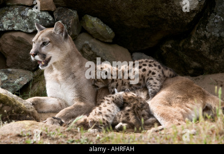 mountain lion cubs with their mother - Stock Image