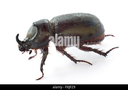Asiatic Rhinoceros beetle (Coconut beetle) on white background. - Stock Image