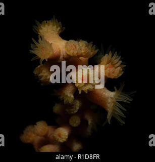 Savalia lucifica, Zoanthid Anemone - Stock Image