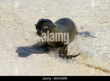 Galapagos Sea Lion Pup, Zalophus wollebaeki, Espanola Island, Galapagos Archipelago, Ecuador - Stock Image