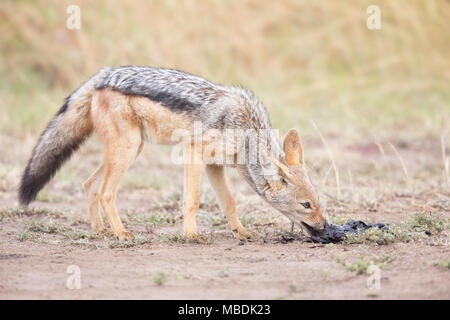 Black-backed Jackal, Canis mesomelas, eating rotting meat from a buffalo killed by lions - Stock Image