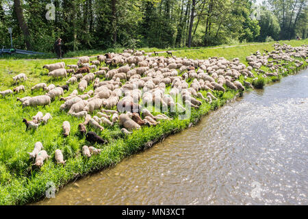Sheep at river Dreisam, meadows at the river, Freiburg, Breisgau, Baden-Würtemberg, Germany - Stock Image