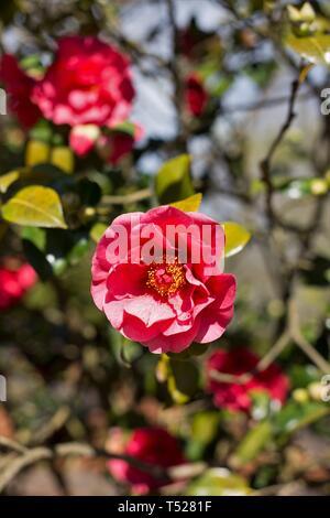 Camellia Japonica 'Kramer's Supreme' flowers at the Oregon Garden in Silverton, Oregon, USA. - Stock Image