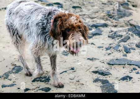 Damp and sandy Wirehaired Pointing Griffon dog a.k.a. Korthals Griffon is a hunter and gundog well-suited to wet - Stock Image