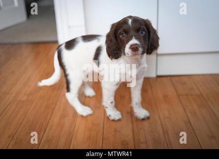 A 8 week old adorable English springer spaniel puppy standing looking straight to camera inside on a wooden floor. - Stock Image