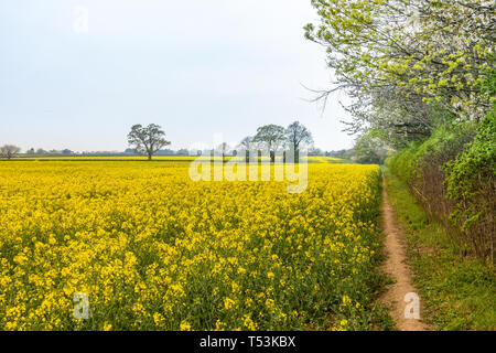 A view across a field full or rapeseed in bloom, - Stock Image