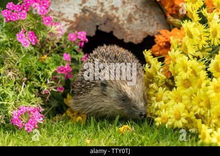 Hedgehog, (Scientific name: Erinaceus Europaeus) wild, native, European hedgehog in natural garden habitat with colourful summer flowers.  Horizontal - Stock Image
