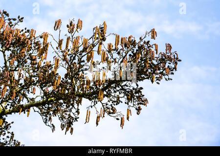 A branch of Alnus Glutinosa or alder, common alder, black alder, European alder showing male and female catkins against hazy blue sky - Stock Image