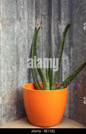 Succulent plant potted in colorful pot - Stock Image