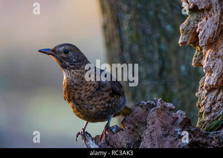 The female blackbird is not in fact black, but brown with mottling on the breast. - Stock Image