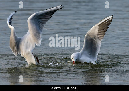 Black headed gulls in winter plumage diving for bread - Stock Image
