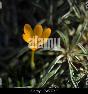 Orange Crocus Flower, Crocus gargaricus - Stock Image