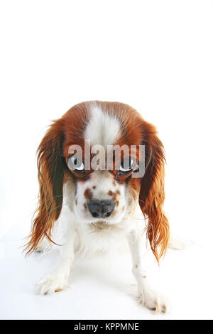 Guilty face. Dog with guilty face on isolated white studio background. Spaniel puppy. - Stock Image