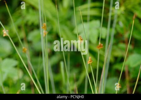 Compact Rush, Juncus conglomeratus flowering, Wales, UK. - Stock Image