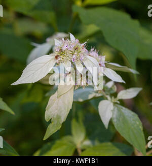 Mountain Mint (Pycnanthemum) leaves and flowers blooming in summer - Stock Image