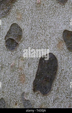 Details of the plane tree (platane commun) that are found widely from Southern Switzerland like Geneva and Nyon. You can see beautiful unique colors. - Stock Image