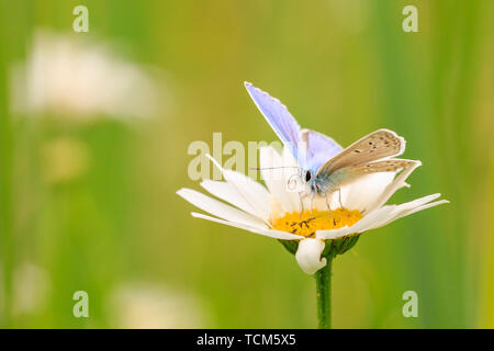 Side view of a male Common Blue butterfly (Polyommatus icarus) pollinating on a flower in a meadow under bright sunlight. - Stock Image