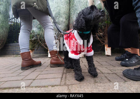 A small dog in a Christmas suit helps select a Christmas tree at Christmas time - Stock Image