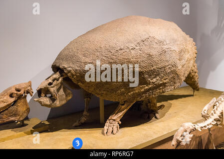 Fossil skeleton of an extinct Glyptodont from South America. Mammals of Ice Age exhibit. The Field Museum. Chicago, Illinois, USA. - Stock Image