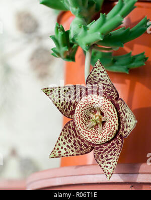 Starfish Plant, aka Starfish Cactus, Star Flower, Carrion Cactus, Carrion Flower, Toad Cactus, Toad Plant (Orbea variegata) - Stock Image