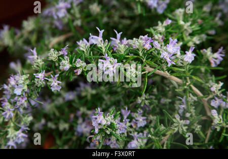 Rosemarinus officinalis 'Boule' Rosemary close up of flower - Stock Image
