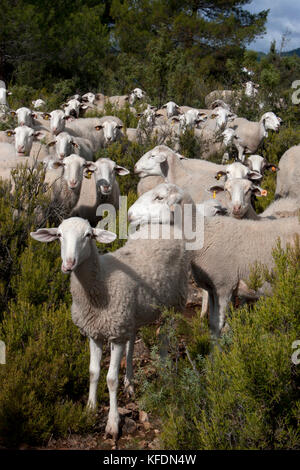 sheep and goats grazing among pines, Pinilla area, Molinicos, Albacete, Castilla la Mancha, Spain - Stock Image