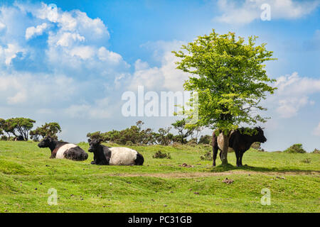 11 June 2018: Bodmin Moor, Cornwall, UK - Belted Galloway cattle. - Stock Image