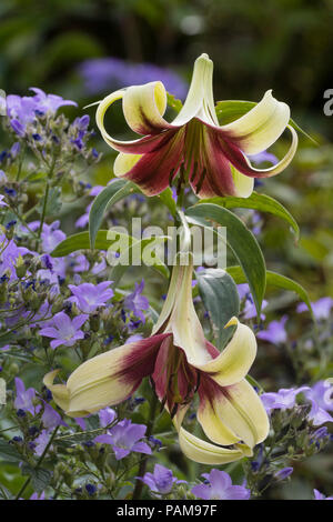 Exotic cream and dark red trumpet flowers of the hardy bulb, Lilium nepalense - Stock Image