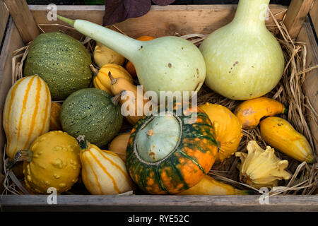 A collection of ornamental multi-coloured gourds on a bed of straw in a wooden crate, Derbyshire, England, UK - Stock Image