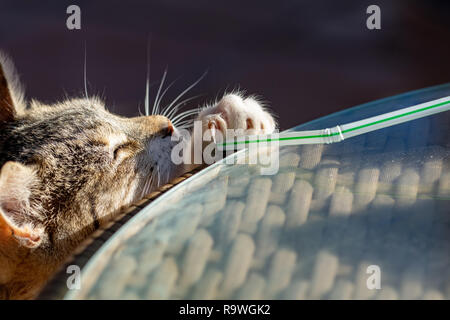 Tabby cat kitten playing and stretching to reach a straw with claws exposed - Stock Image