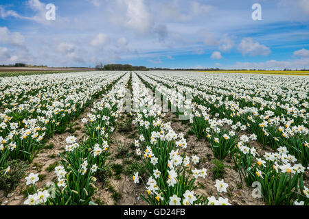 A field of daffodils in bloom, Norfolk, England, United Kingdom, Europe - Stock Image