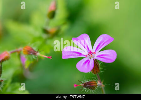 Herb Robert flower, a tiny pink Cranesbill flower from the Herb Robert (Geranium robertianum) in Spring (May) in West Sussex, UK. - Stock Image