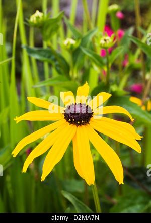 Black eyed Susan - Stock Image