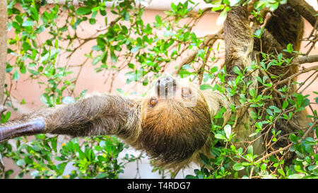 ZSL London Zoo, London, UK, 18th April 2019. Male sloth Leander, a Linnaeus's two-toed sloth, (Choloepus didactylus) decides to have a big stretch, whilst lazing in the beautiful London sunshine at the Regent's Park site. Sloths are the world's slowest mammal, and sleep around 15 hours a day, so a little stretch is big activity in sloth terms. Credit: Imageplotter/Alamy Live News - Stock Image