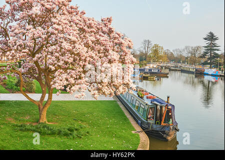 Boats moored in Bancroft Basin Stratford upon Avon, where the River Avon joins the Stratford upon Avon canal, with - Stock Image