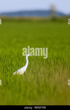 Great Egret (Ardea alba) in a rice field - Stock Image