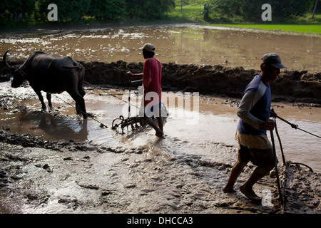 Filipino farmers drive carabaos while working to level a rice field near Mansalay, Oriental Mindoro, Philippines. - Stock Image