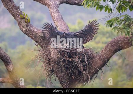 Harpy eagle (Harpia harpyja), female landing with monkey prey at nest, Carajas National Park, Amazonas, Brazil. - Stock Image
